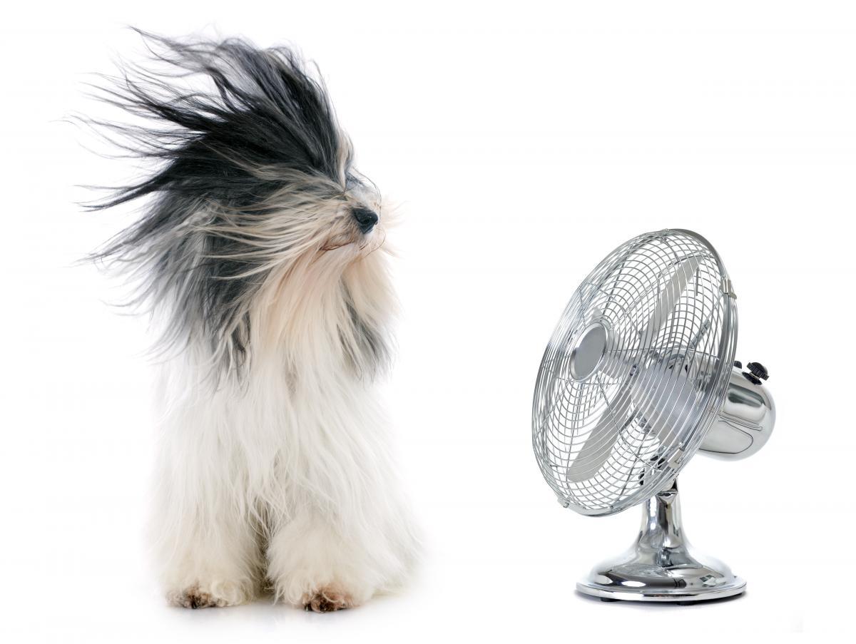 tibetan terrier with fan blowing